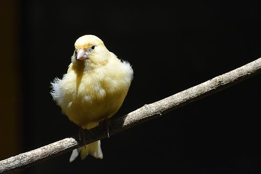 Canary Animal Spirit Guide
